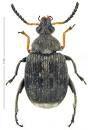 Bruchus rufimanus