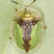 Cassida bergeali