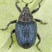 Ceutorhynchus coerulescens