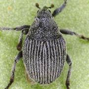 Ceutorhynchus inaffectatus