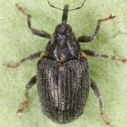 Ceutorhynchus picitarsis