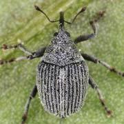 Ceutorhynchus rhenanus