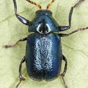 Chryptocephalus schaefferi