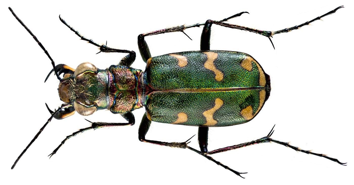 Cicindela hybrida transversalis
