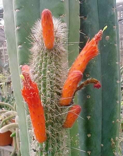 Cleistocactus azerensis