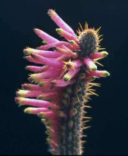 Cleistocactus (Seticleistocactus) dependens