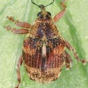 Coeloides trifasciatus