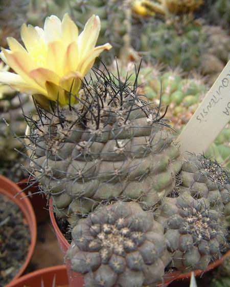 Copiapoa barquitensis Dscf1009