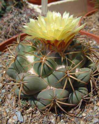 Coryphantha bumamma DSCF1599