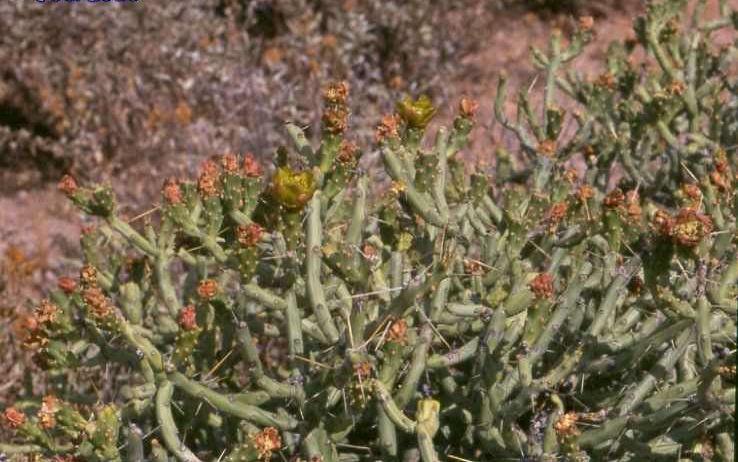 Cylindropuntia arbuscula (Tucson, Az)