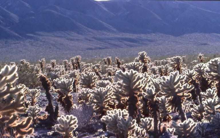 Cylindropuntia bigelowii (Joshua Tree N. Mt., Ca)