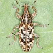 Cyphocleonus dealbatus