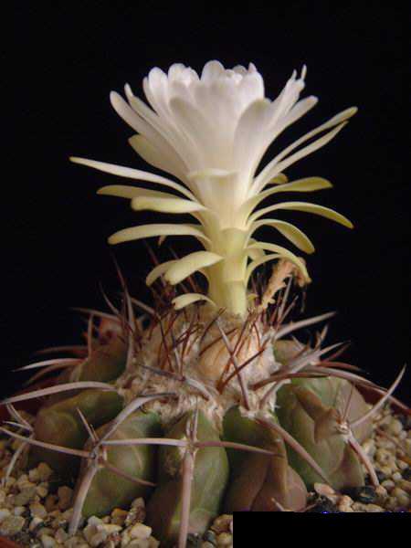 Discocactus crystallophilus DSCF1444