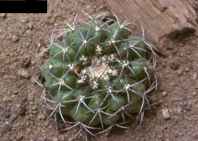 Discocactus heptacanthus