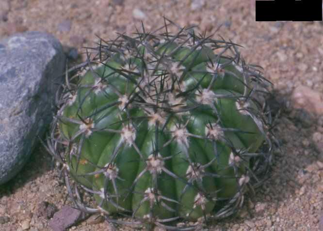 Discocactus melanochlorus