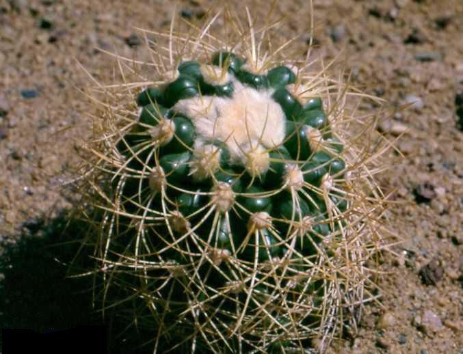 Discocactus zehntneri v. albispinus