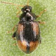 Epitrix atropae