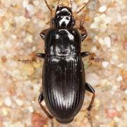 Harpalus subcylindricus