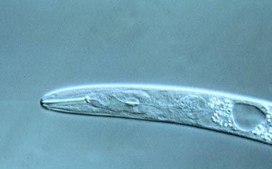 Heterodera carotae