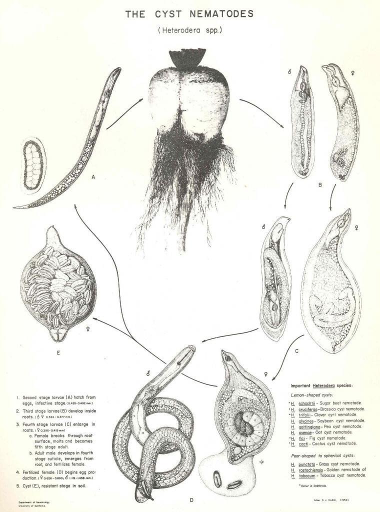 Heterodera galeopsidis