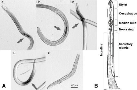 Heterodera oryzae
