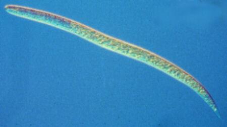 Heterodera rostochiensis