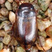 Hydroporus ferrugineus