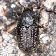 Hylesinus crenatus