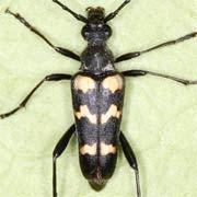 Judolia sexmaculata