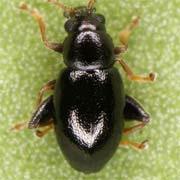 Longitarsus anchusae