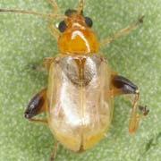 Longitarsus ochroleucus