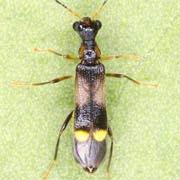 Malthinus balteatus