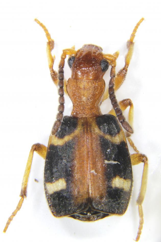 Mastax Formosana