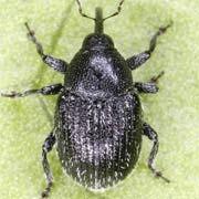 Miarus distinctus
