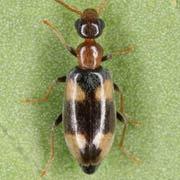 Microhoria nectarina