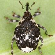 Mogulones larvatus