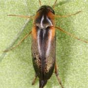 Mordellistena humeralis