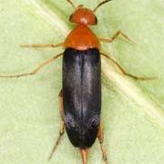 Mordellochroa milleri