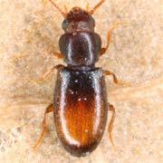 Myrmechixenus subterraneus