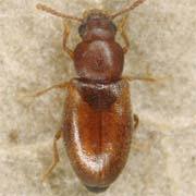 Myrmechixenus vaporariorum