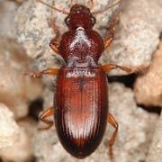 Ophonus cordatus