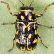Pachybrachis picus