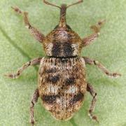 Pachytychius sparsutus
