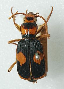 Pheropsophus