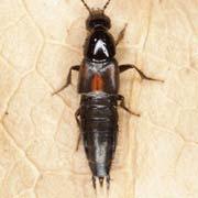 Philonthus sanguinolentus