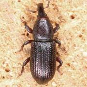 Phloephagus lignarius