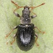 Phyllobius viridicollis
