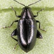 Phyllotreta consobrina