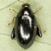 Psylliodes chrysocephalus
