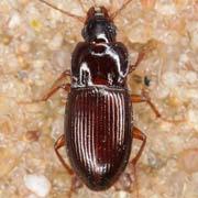 Pterostichus subsinuatus